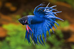 Etiketten für Betta splendens Crown Tail Blue ♂