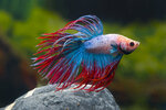 Etiketten für Betta splendens Crown Tail Multicolor ♂