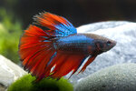 Etiketten für Betta splendens Halfmoon Blue-Red ♂