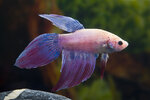 Etiketten für Betta splendens Long Tail Mirabell ♂