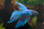 Etiketten für Betta splendens Long Tail Turquoise ♂