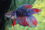 Etiketten für Betta splendens Twin Tail ♂