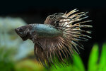 Etiketten für Betta splendens Copper ♂
