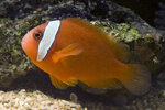 Etiketten für Amphiprion frenatus