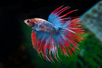 Etiketten für Betta splendens Crowntail Bicolor ♂