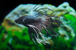 Etiketten für Betta splendens CROWNTAIL BLACK ORCHID ♂