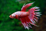 Etiketten für Betta splendens CROWNTAIL DRAGON RED ♂