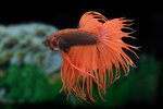 Etiketten für Betta splendens Crowntail Fancy ♂