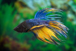 Etiketten für Betta splendens CROWNTAIL MUSTARD Blue ♂