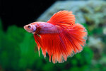 Etiketten für Betta splendens Half Moon Solid Red ♂