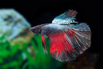 Etiketten für Betta splendens HALFMOON BLACK Devil m ♂