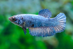 Etiketten für Betta splendens HALFMOON BLUE MASK w ♀