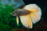 Etiketten für Betta splendens HALFMOON COPPER Gold ♂