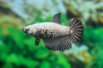 Etiketten für Betta splendens HALFMOON COPPER w ♀