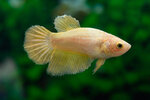 Etiketten für Betta splendens HALFMOON GOLDEN w ♀