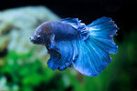 Etiketten für Betta splendens HALFMOON GREEN MASK ♂