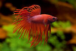 Etiketten für Betta splendens Crown Tail Red ♂