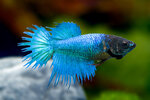 Etiketten für Betta splendens Crown Tail Turquoise ♀