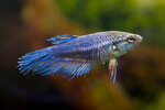 Etiketten für Betta splendens Crown Tail Blue ♀
