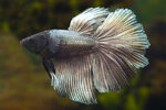 Etiketten für Betta splendens Halfmoon Copper ♂