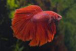 Etiketten für Betta splendens Halfmoon red ♂