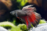 Etiketten für Betta splendens Copper-Red ♂