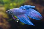 Etiketten für Betta splendens Long Tail Blue ♂