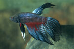 Etiketten für Betta splendens Longtail Midnight Blue ♂