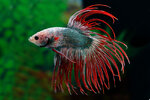 Etiketten für Betta splendens Crowntail Bicolor Dragon ♂
