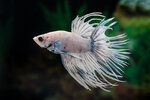 Etiketten für Betta splendens CROWNTAIL GRIZZLE ♂