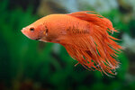Etiketten für Betta splendens Crowntail Orange ♂