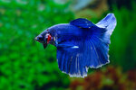 Etiketten für Betta splendens HALFMOON BLUE MASK m ♂