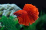 Etiketten für Betta splendens HALFMOON BRIGHT RED m ♂