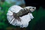 Etiketten für Betta splendens HALFMOON COPPER Black Marble ♂