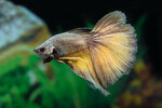 Etiketten für Betta splendens HALFMOON COPPER m ♂