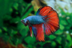 Etiketten für Betta splendens HALFMOON DRAGON RED GREEN ♂