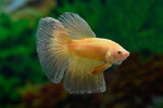Etiketten für Betta splendens HALFMOON GOLDEN ♂