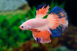Etiketten für Betta splendens HALFMOON MULTICOLOR ♂