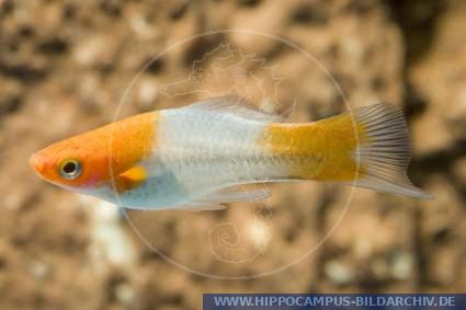 Xiphophorus helleri white red alias schwertraeger for Welse teichfische