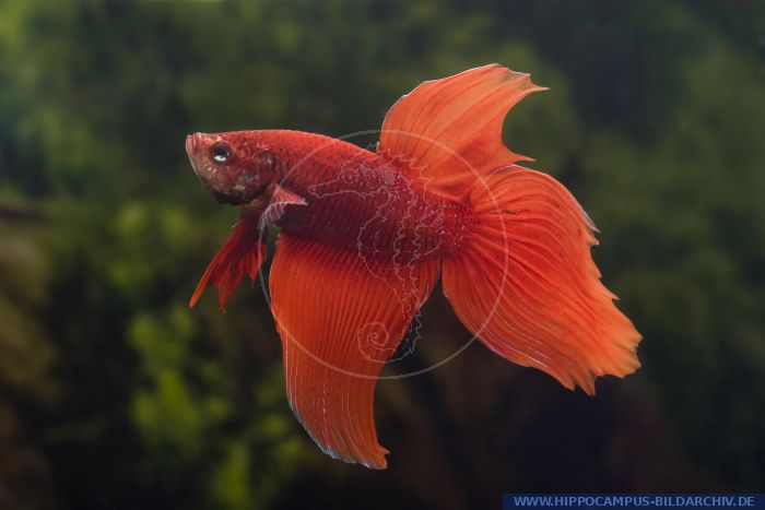 Betta splendens longtail rot alias siamesischer kampffisch for Welse teichfische