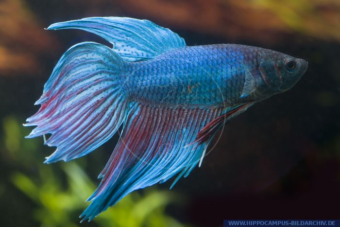 Betta splendens longtail t rkis alias siamesischer for Welse teichfische
