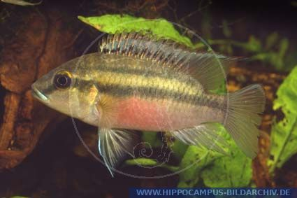 Chromidotilapia guentheri alias guenthers prachtbuntbarsch for Welse teichfische