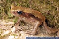 Bufo guttatus, Tropfenkröte, Smooth Sided Toad, Spotted Toad