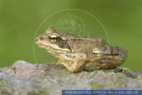 Rana temporaria, Grasfrosch, Common frog