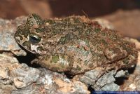 Bufo viridis, Wechselkroete, Gruene Kroete, Green Toad, European Green Toad, Variable Toad