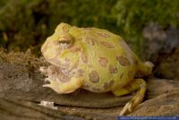 "Ceratophrys cranwell ""Albino"", Chaco Hornfrosch, Chacoan horned frog"
