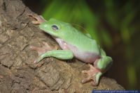 Agalychnis moreletii, Rotaugenlaubfrosch, Orange Sided Tree Frog, Morelets Tree Frog