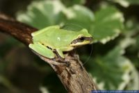 Hyla chinensis, Bunter Laubfrosch, Common Chinese Tree Frog