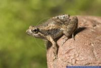 Microhyla pulchra,Pracht-Engmaulfrosch,Narrow-mouthed frog