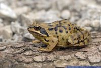 Rana temporaria,Grasfrosch,Common frog